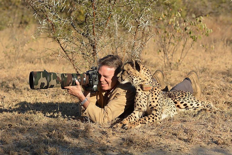 animales enamorados de la cámara guepardo