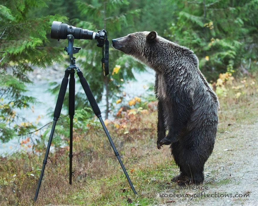 animales enamorados de la cámara oso