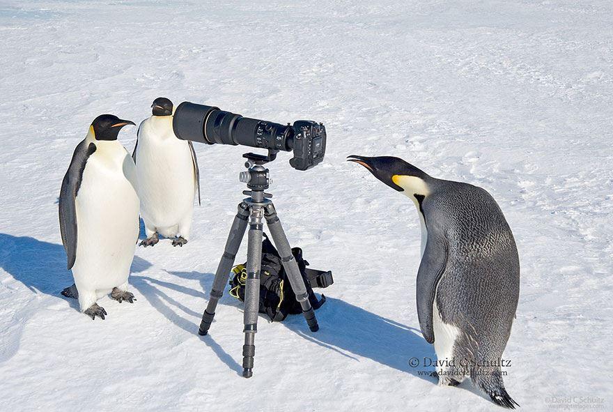 animales enamorados de la cámara pingüinos