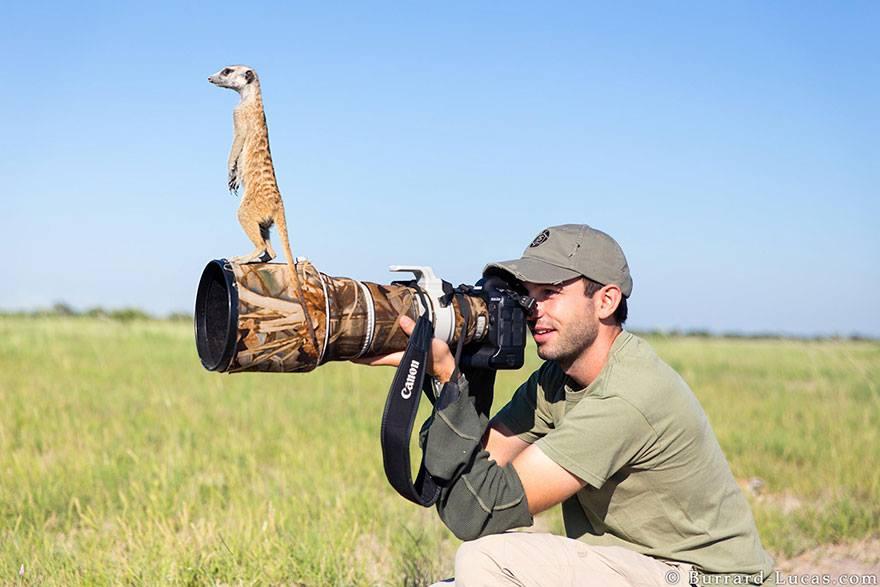 animales enamorados de la cámara suricato