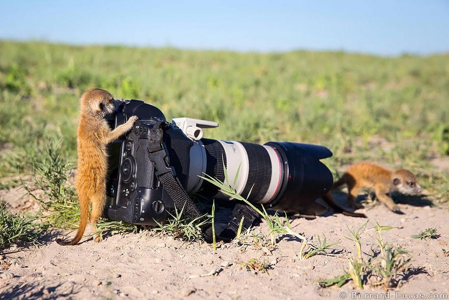 animales enamorados de la cámara suricatos