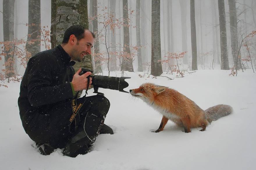 animales enamorados de la cámara zorro nieve