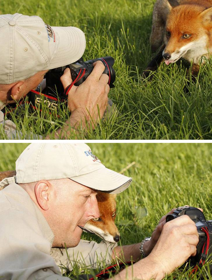 animales enamorados de la cámara zorro rojo