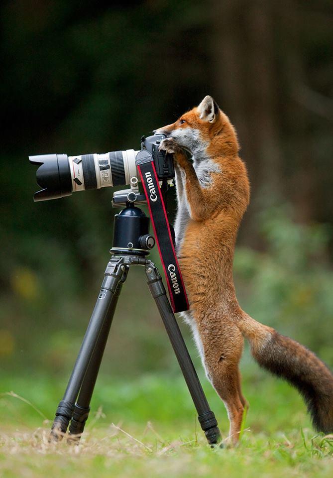animales enamorados de la cámara zorro